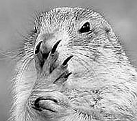 Little Marmot